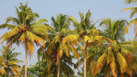coconut palms under blue sky Stock Video Footage