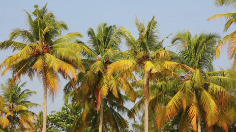 coconut palms under blue sky Stock Video Footage