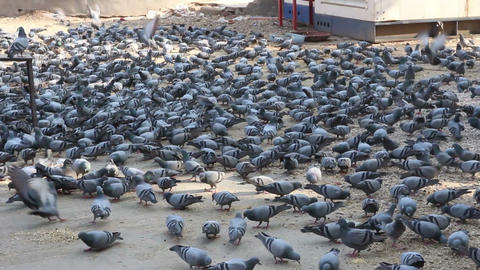 many pigeons in Jaipur India Stock Video Footage