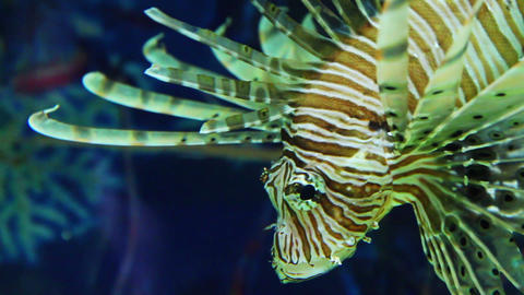 Lionfish Zebrafish Underwater Close-up stock footage