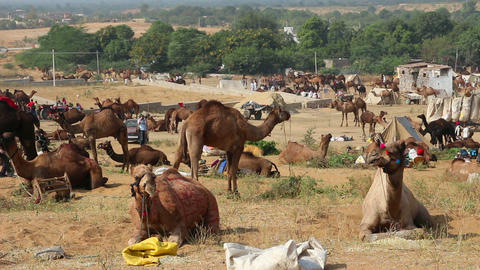 Pushkar Camel Fair - camels during festival Stock Video Footage