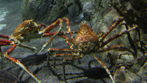 two large crab underwater Stock Video Footage