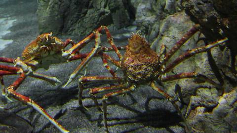 two large crab underwater Live Action
