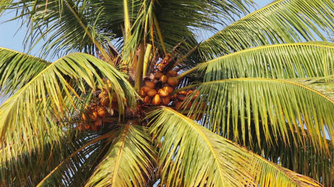 coconut palm under blue sky closeup Stock Video Footage