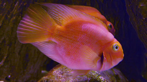 big goldfishe in aquarium Stock Video Footage