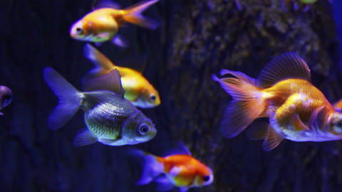 many goldfishes in aquarium Footage
