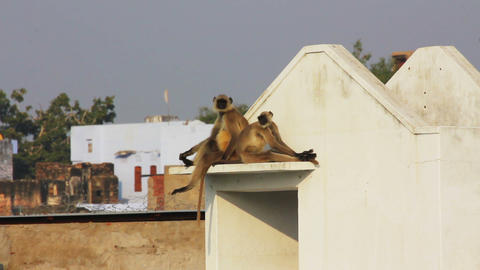 entellus monkeys on building top in Pushkar India Footage