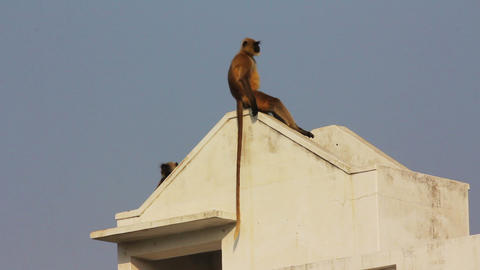 entellus monkeys on building top in Pushkar India Stock Video Footage