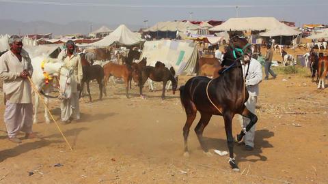 Indian man raised his horse at Pushkar camel fair Stock Video Footage