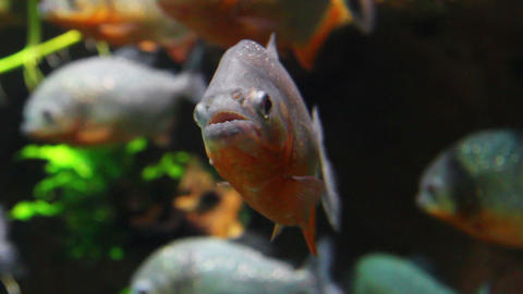 piranhas fish underwater Stock Video Footage
