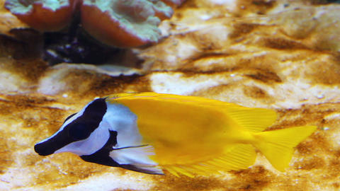 yellow rabbitfish - tropical fish underwater Stock Video Footage