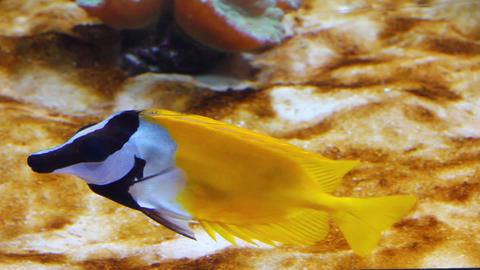 yellow rabbitfish - tropical fish underwater Stock Video Footage