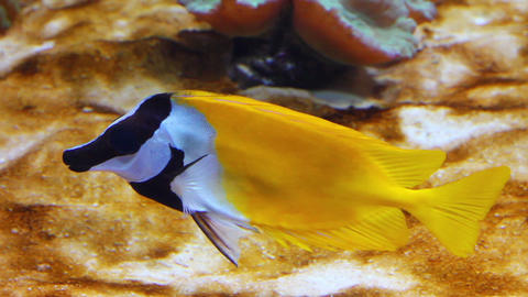 yellow rabbitfish - tropical fish underwater Footage
