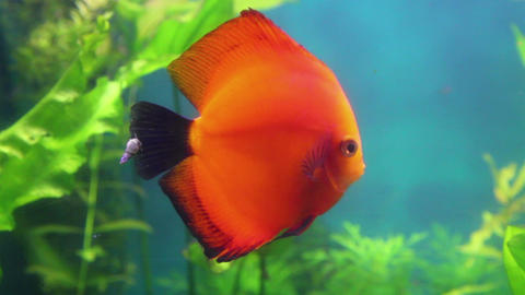 red discus fish in aquarium Footage