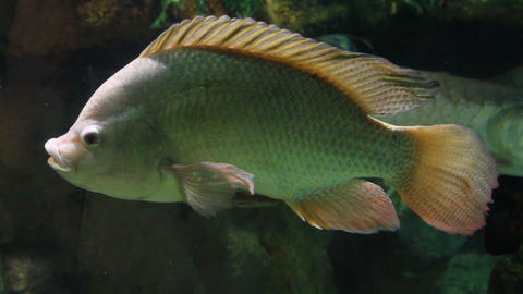 big siamese carp underwater Stock Video Footage