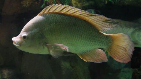 big siamese carp underwater Stock Video Footage