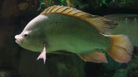 big siamese carp underwater Footage