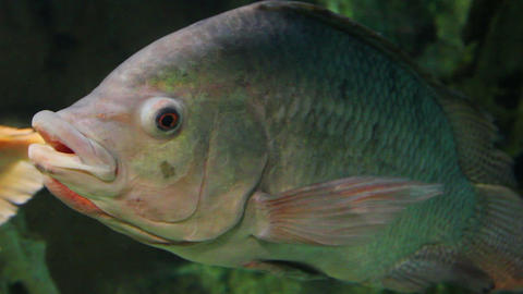 big siamese carp underwater Footage