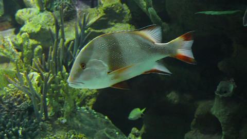 Lutjanus sebae - tropical fish underwater Stock Video Footage