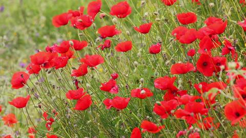 many red poppy flowers in field Stock Video Footage