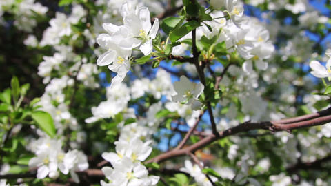 Blossom apple tree branches close-up Footage