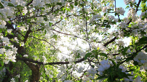 sun shining through blossom apple tree branches Stock Video Footage