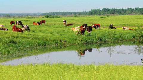 herd of cows on pasture near lake - timelapse Stock Video Footage