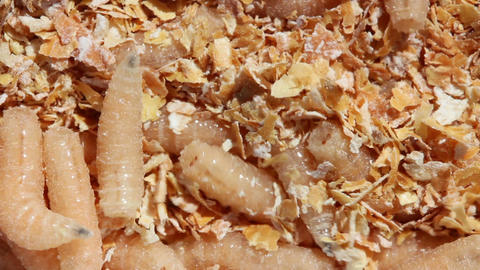 maggots of fly - bait for fishing Stock Video Footage
