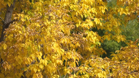 Yellow leaves 02 Stock Video Footage