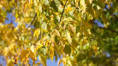 Yellow leaves 04 Stock Video Footage
