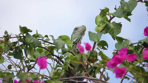 Iguana 05 Footage