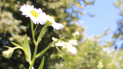 blooming daisies Stock Video Footage