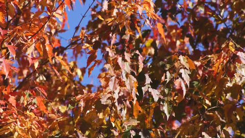 Red autumn leaves 01 Stock Video Footage