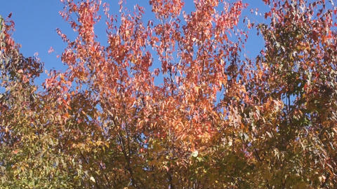 Red autumn leaves 03 Stock Video Footage