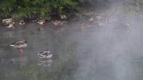 Ducks in the fog Stock Video Footage