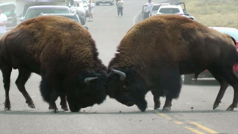 Two Buffalo aka Bison Fighting on Road in Yellowstone... Stock Video Footage