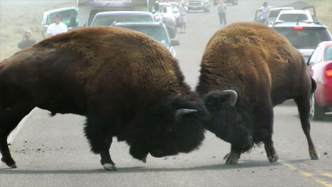 Two Buffalo Stock Video Footage