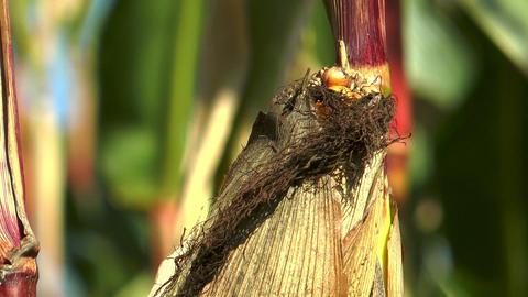 corncob in corn (Maize) field extreme closeup Stock Video Footage