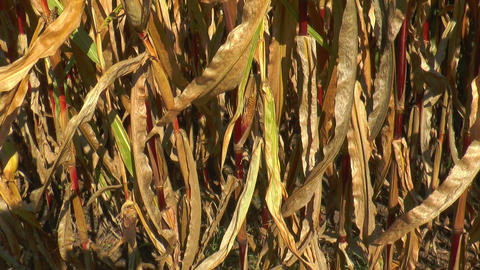 pan over corn (Maize) plants bottom up Stock Video Footage