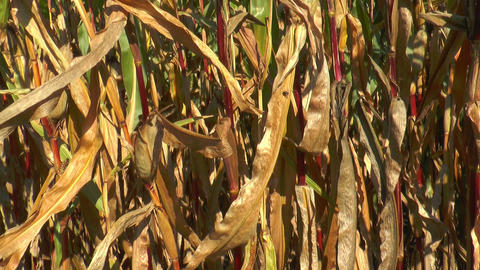 Pan Over Corn (Maize) Plants Bottom Up stock footage