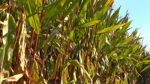 corn (maize) plants swaying in the wind Stock Video Footage