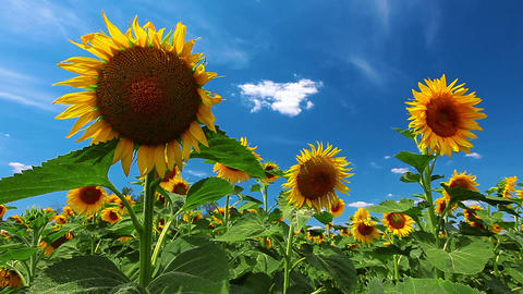 Sunflowers Stock Video Footage
