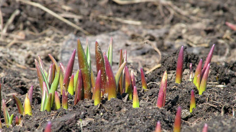 Sprouts muscari. Time Lapse Stock Video Footage