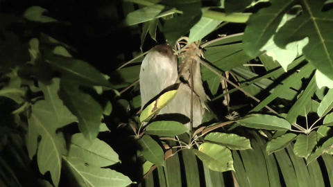 sloth bear in a tree feeding at night Footage