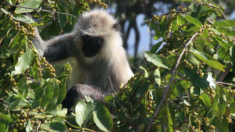 presbytis monkey eating fruits on tree Stock Video Footage