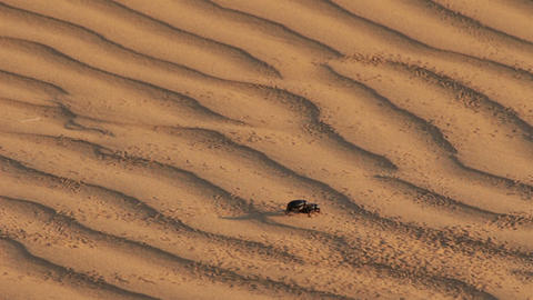 scarab beetle on sand dune in desert Footage