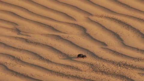 scarab beetle on sand dune in desert Stock Video Footage