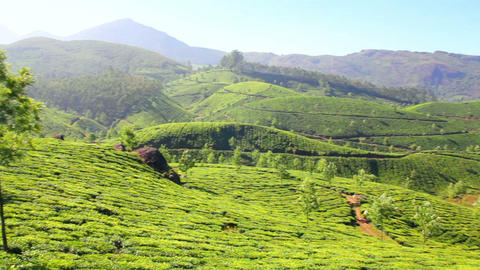 Mountain Tea Plantation In Munnar Kerala India stock footage