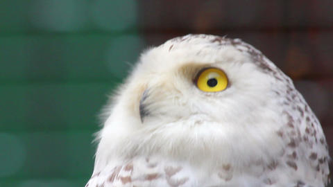 polar owl looking Stock Video Footage