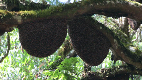 wild bees beehive on tree Footage